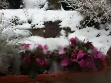 SnowIcingCyclamen